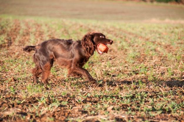 Собака с жевательной игрушкой