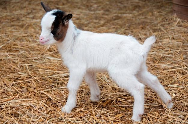 遠くの赤ちゃんのヤギ