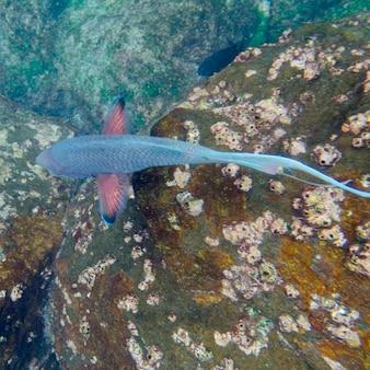 水中、ガードナー湾、エスパノラ島、ガラパゴス諸島、エクアドルの魚の高いアングルビュー