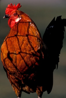 鶏のクローズアップ