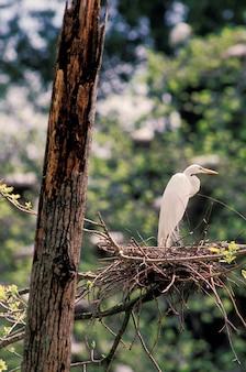 木の巣の上に羽ばたく白鳥