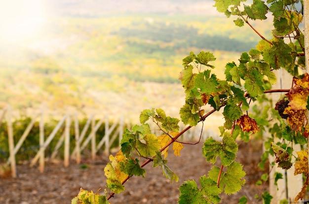 日没時にブドウ園のブドウの小枝