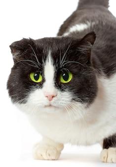 黄色い目を持つ猫の肖像画。