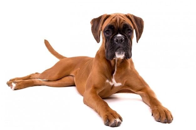 美しいボクサーの子犬