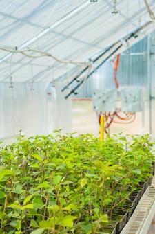 温室で梅の木の苗木の成長