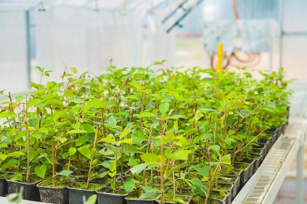 温室で梅の木の苗の成長
