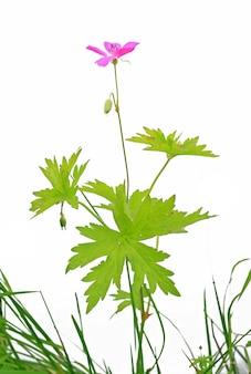 白い背景の上のライラックの野の花