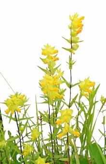 白い背景の上の黄色の花