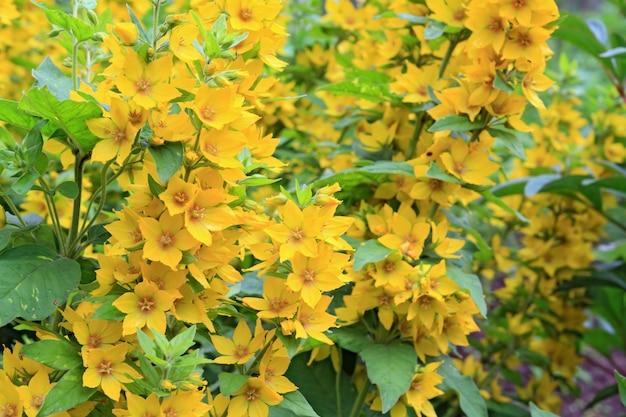 Желтые цветы в сельском саду