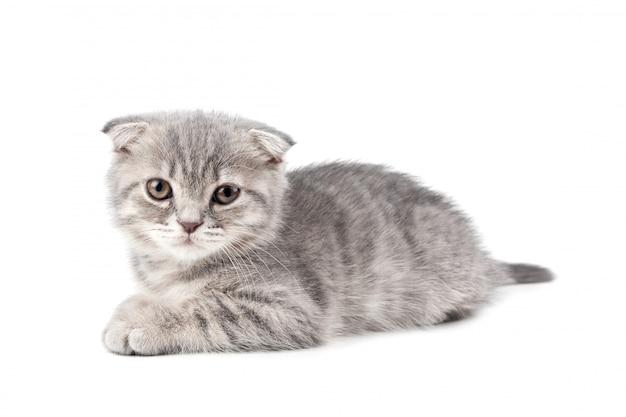 白い背景に分離されたイギリスの子猫