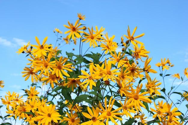 Много красивых желтых цветов на фоне голубого неба летом
