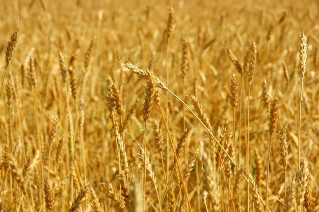 Желтое зерно готово для сбора урожая в поле фермы