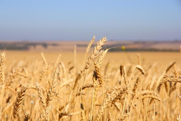 Пшеничное поле против голубого неба