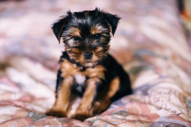 ベッドでヨークシャーテリアの愛らしい、かわいい子犬