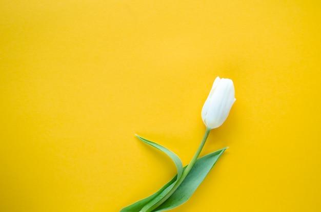 黄色の背景に白いチューリップの花