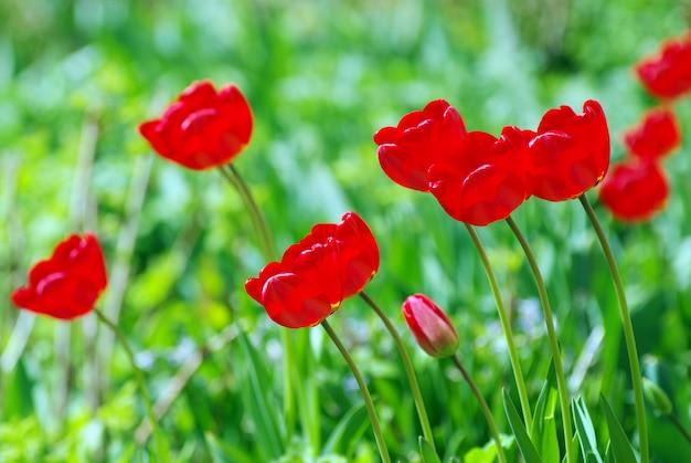 Красные тюльпаны в саду