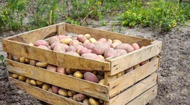 Сбор урожая картофеля на сельскохозяйственном поле