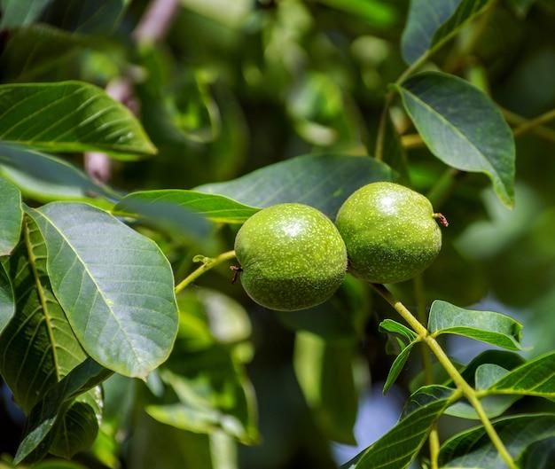 Молодые грецкие орехи на дереве на закате.