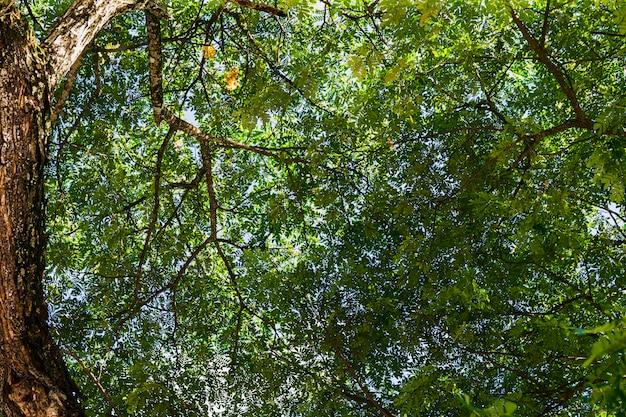 クローズアップビューの大きな木、下から緑の葉の梢まで。木の下
