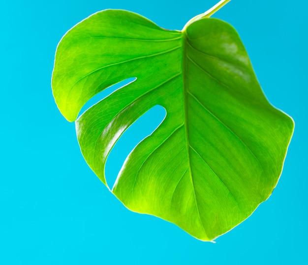 Тропические листья монстера на бирюзовом фоне. плоская планировка