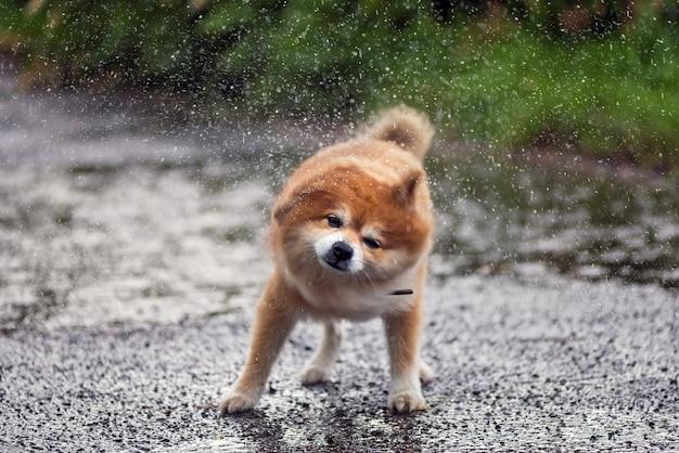 犬は雨に濡れた