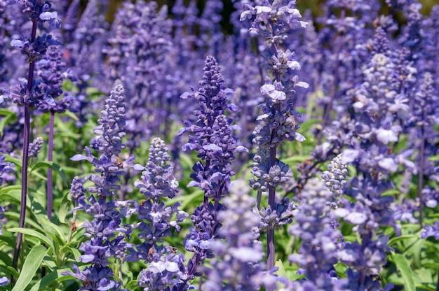 自然の花の背景、夏の日の真ん中に日光の下で庭に咲く紫色の花の素晴らしい自然の景色、庭紫のブルーサルビア。