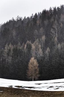 雪に囲まれた松の木