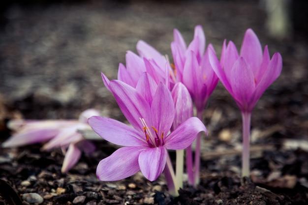 Крупный план фиолетового крокуса осени