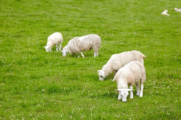 牧草地の羊