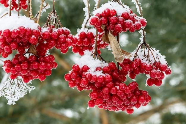 雪に覆われたガマズミ属の木