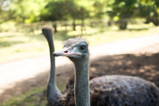 Голова страуса птица и шея фронт портрет в парке. любознательный африканский страус идя на страусиную ферму.