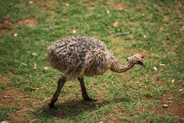 Прелестный малыш страуса