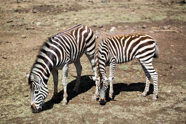 Стадо зебр в дикой природе. маврикий.