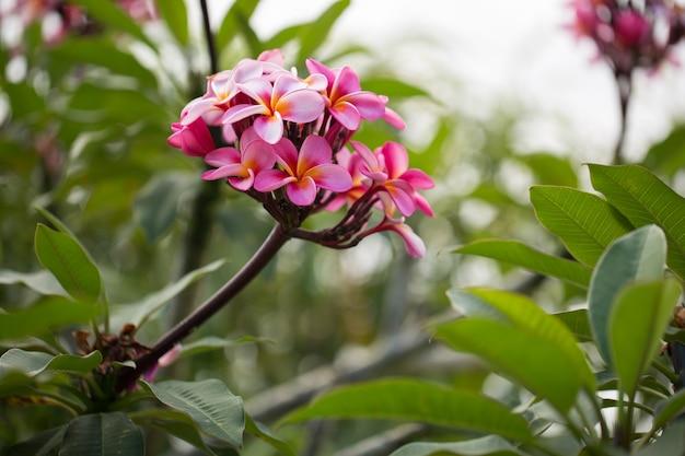 Розовая плюмерия на дереве плюмерия, тропические цветы франжипани.