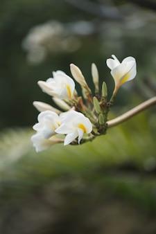 Белые и желтые цветы плюмерии на дереве