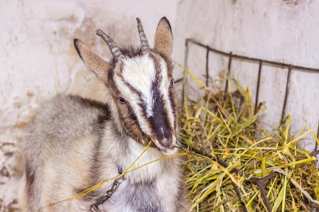 屋台の若いヤギは干し草の肖像画のクローズアップを食べる