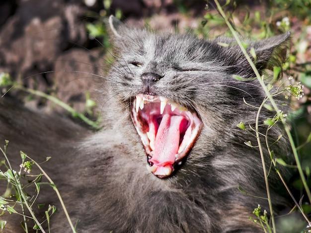 Серый пушистый котик с широко открытым ртом