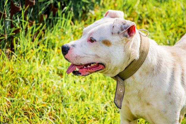 Портрет молодой белой собаки породы питбуль в парке на зеленом фоне во время ходьбы