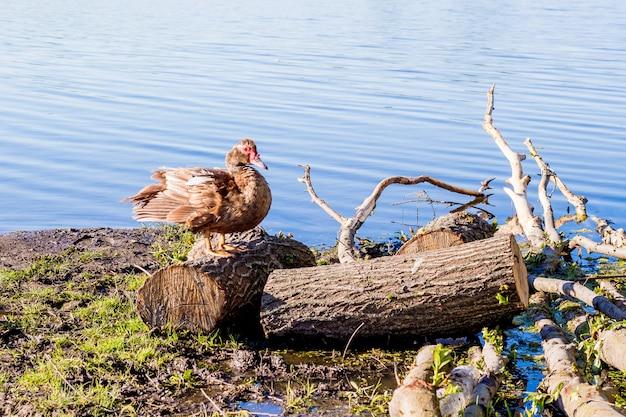 Утка стоит на палубе у реки