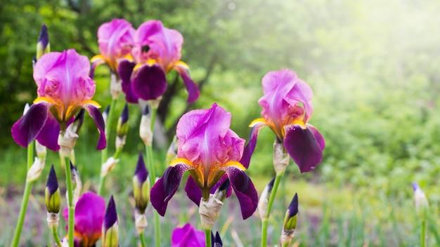 緑の植物の背景に庭で紫色のアイリス