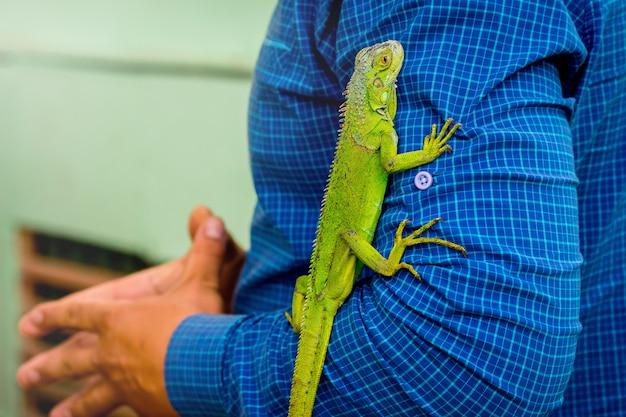 Зеленая ящерица на мужской руке. ящерица комфортно себя чувствует с мужчиной