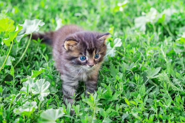 青い目をした小さな子猫が緑の草を通り抜けます。あなたの周りの世界を知る