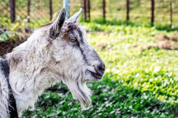 Портрет крупным планом козла на размытом фоне