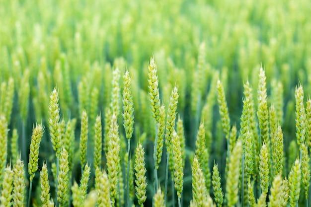 成熟中の小麦の茎。小麦の茎のテクスチャです。繊細なグリーンの色調で朝の麦畑