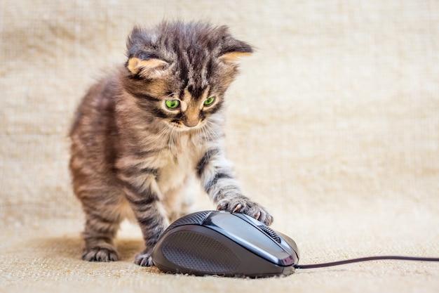 Маленький полосатый котенок играет с компьютерной мышью. опытный компьютерный специалист
