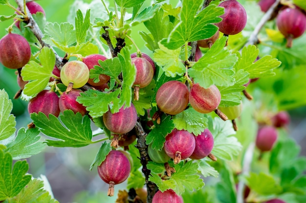Куст крыжовника со спелыми ягодами. ветка крыжовника с красными ягодами