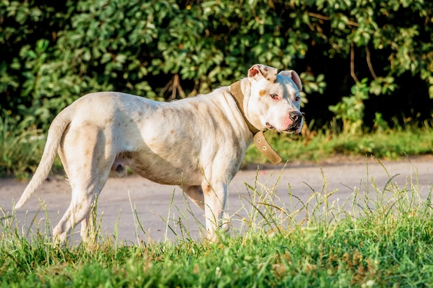 Белая собака породы питбуль на прогулке возле дороги в летнее утро