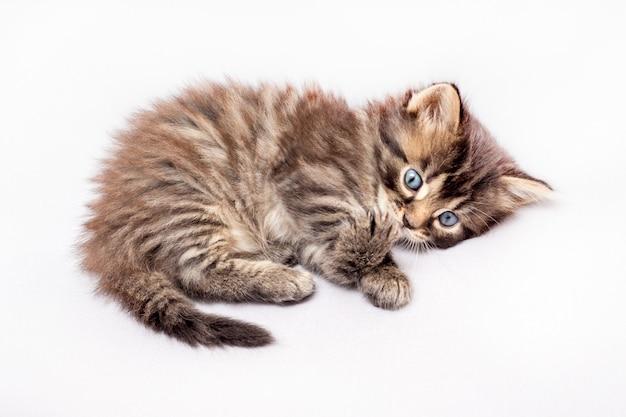 孤立した白地に白のストライプの魅力的な子猫