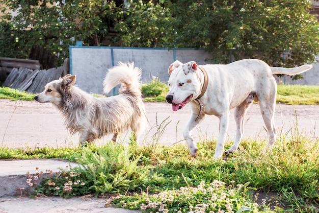 Белая собака питбуль на прогулке с дворнягой. две собаки во время прогулки по деревенской улице