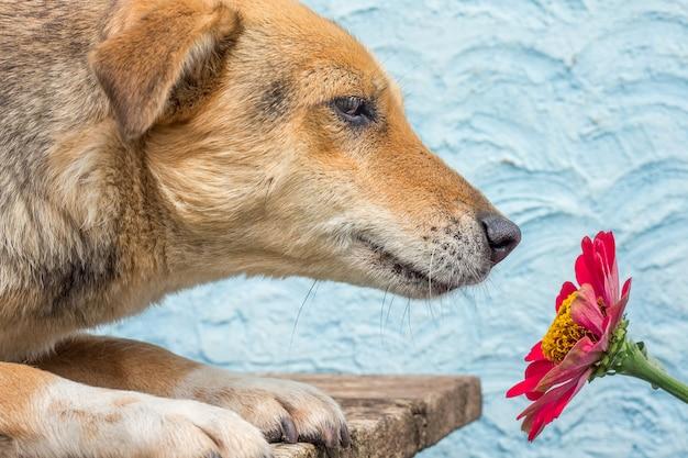 犬は赤い百日草の花を嗅ぎます。赤い百日草の近くの犬。花、百日草の広告